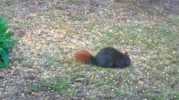 Image of black squirrels with red tails